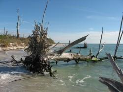 a dead fall tree at a beach