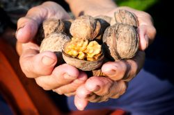 Raw walnuts in the old female hands